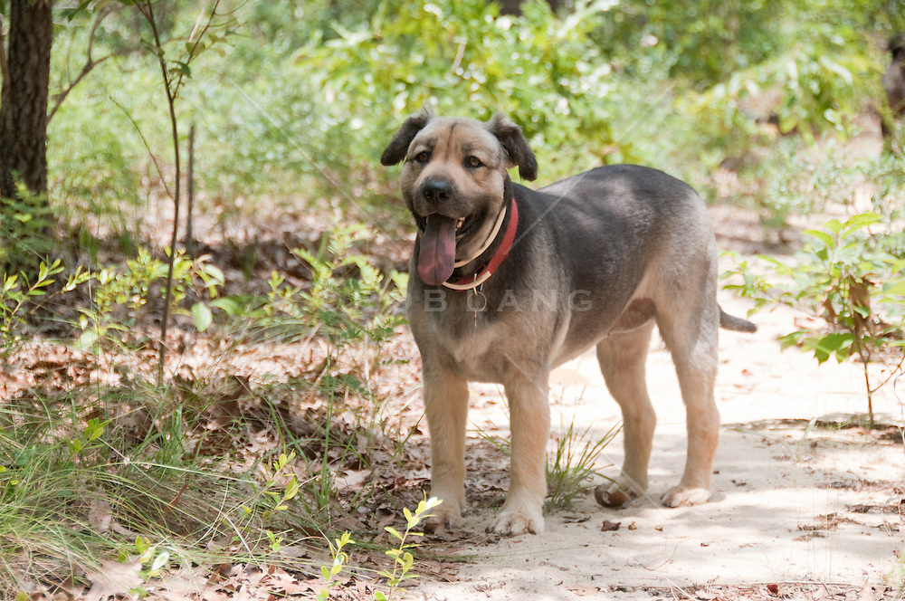 Shepard Mix dog standing in a wooded area in South Carolina