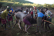 Men grab a bull for an elder of the community to bless during an initiation ceremony of over one hundred girls passing over into womanhood.