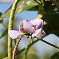 Yard long bean (Vigna unguiculata subsp. sesquipedalis) also known as  Long Bean, Asparagus Bean, Snake Bean, Chinese long bean, Chinese bean, Dau Gok, dow gauk, Cai Dou, Chang Dou, Jiang Dou, Chang Jiang Dou, Juroku-Sasage (Japanese), Taao-hla-chao (Hmong), sitaw (Filipino), dau-dau (Vietnamese)