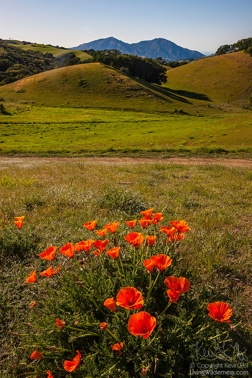 Golden California poppies (Eschscholzia californica) grow on the rolling hills of the Morgan Territory Regional Preserve near Antioch, California. Mount Diablo, a prominent upthrust peak that rises 3,849 feet (1,173 meters), is visible in the background.