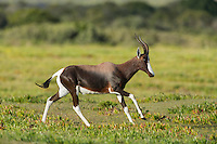 Bontebok ram running and chasing other bontebok males out of his territory, De Hoop Nature Reserve, Western Cape, South Africa