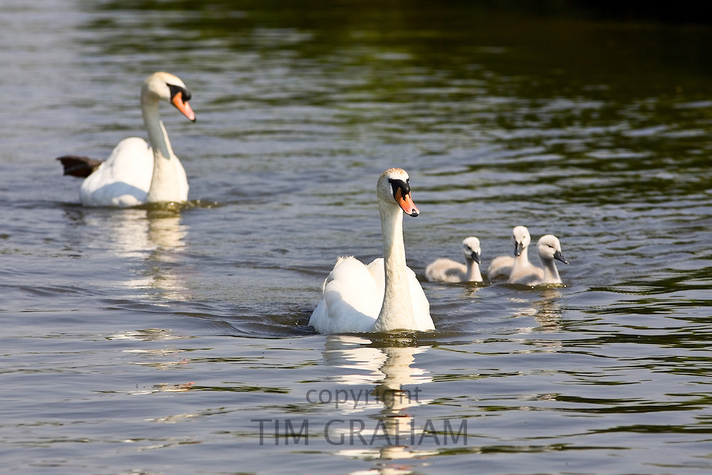 Swans and cygnets, Norfolk Broads, United Kingdom RESERVED USE - NOT FOR DOWNLOAD -  FOR USE CONTACT TIM GRAHAM