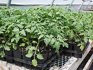 Harmony Farm, Goshen, NY -   tomato seedlings