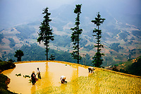 Ethnic minority farmers in the mountains of Sapa in northern Vietnam harvest their rice fields.