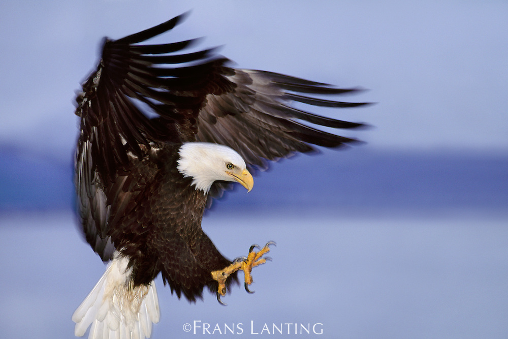 Bald eagle landing, Haliaeetus leucocephalus, Southeast Alaska