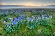 Wild Iris meadows on a foggy morning at the Medano Ranch,San Luis Valley, Colorado