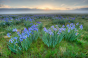 Wild Iris meadows on a foggy morning at the Medano Ranch,San Luis Valley, Colorado