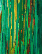 Painted bark eucalyptus, the Hana Coast, Island of Maui, Hawaii