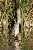 Great Blue Heron stands in a pond watching for minnows to swim by.