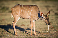 Kudu cow chewing bones, Addo Elephant National Park, Eastern Cape, South Africa