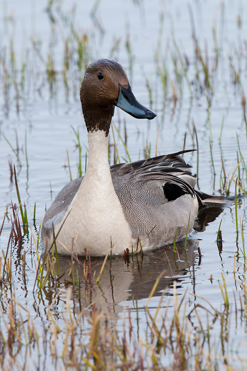 Northern pintail drake in a tundra pond near Barrow Alaska