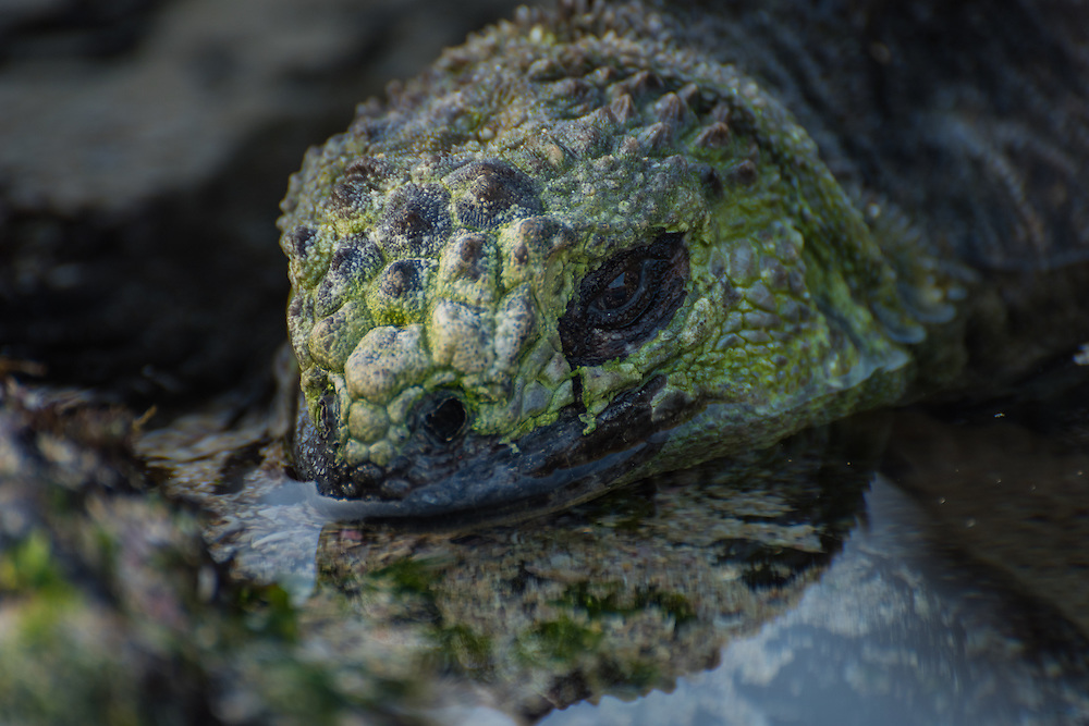 Close-up of a marine iguana with his face covered in algae, Isla ISabela, Galapagos, Ecuador.