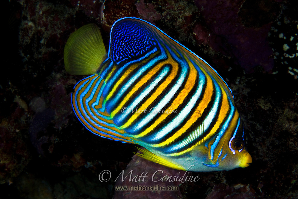 Regal Angel Fish, Yap Micronesia (Photo by Matt Considine - Images of Asia Collection)