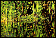 04: EVERGLADES COMMON & PURPLE GALLINULES