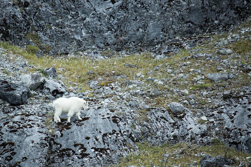 A mountain goat in Glacier Bay National Park, Alaska.