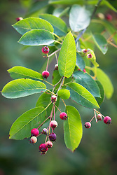 The berries of Amelanchier lamarckii AGM. Snowy mespilus, Juneberry