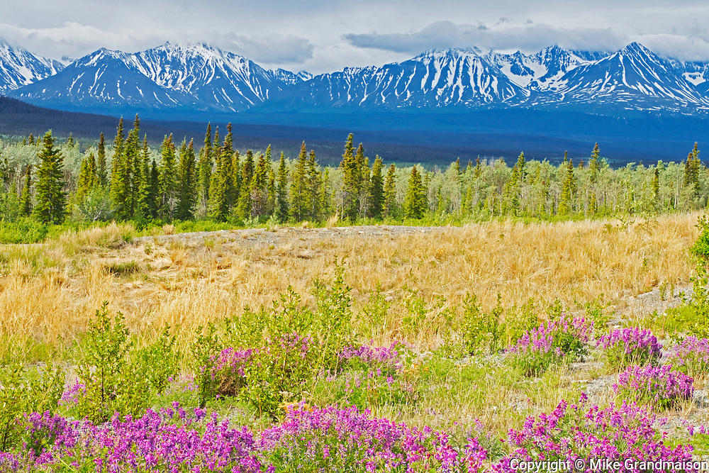 Wildflowers and the St. Elias Mountains, Near Haines Junction, Yukon, Canada