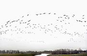 Nederland, Westervoort, 29-1-2012De Hondsbroeksche Pleij. Westervoortse pleij, bij de splitsing van de Neder Rijn en de IJssel. Een grote groep ganzen vliegt over.Foto: Flip Franssen/Hollandse Hoogte