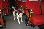 Searching for drugs. Narkohund i arbeid på toget mellom Trondheim og Storlien.