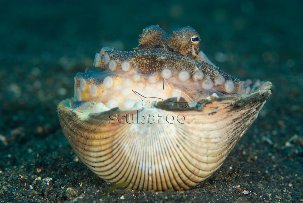 Veined Octopus, Octopus marginatus, using shell for shelter and protection, KBR, Lembeh Strait, Sulawesi, Indonesia.