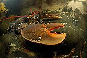 Common lobster, European clawed lobster, Maine lobster (Homarus gammarus) (dt. Hummer, Europäischer Hummer) Crustacea