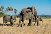 African bush elephant (Loxodonta africana) mother with children, Liwonde National Park, Malawi, Africa