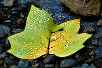 Fallen Leaf with Last Nights Rain Drops. Summer Nature in New Jersey at the Sourland Mountain Preserve. Image taken with a Nikon 1 V1 + FT1 + 70-300 mm VR lens (ISO 400, 155 mm, f/5, 1/1000 sec). FOV equivalent to ~420 mm with a 35 mm sensor.