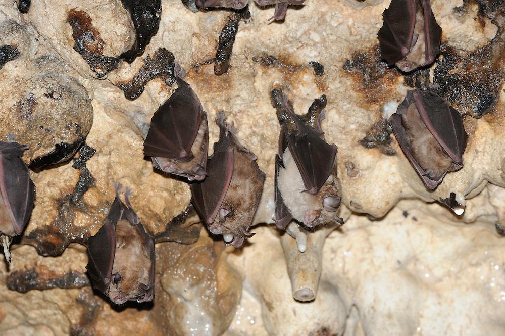 Greater Horseshoe Bats, (Rhinolophus ferrumequinum), National Park Piatra Craiului, Transylvania, Southern Carpathians, Romania