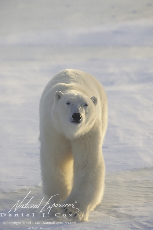 Polar Bear (Ursus maritimus) adult in Churchill, Manitoba, Canada.