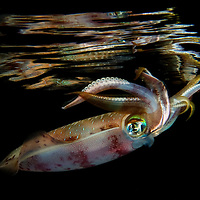 Bigfin reef squid (Sepioteuthis lessoniana), Marsa Nakari, southern Egypt<br /> A deadcalm night, and many squid hunting around the boat. A prefect day to shoot the squid mirror shot. Even if I hae the best conditions you can imagine, and the most cooperative squid in aöö Red Sea, it still took me 2 hours to get this shot.<br /> UW housing, double strobes, flashlight<br /> Sepioteuthis lessoniana, commonly known as the bigfin reef squids or oval squids, is a commercially important species of loliginid squid. They are one of the three currently recognized species belonging to the genus Sepioteuthis. Studies in 1993, however, have indicated that bigfin reef squids may comprise a cryptic species complex. The species is likely to include several very similar and closely related species.