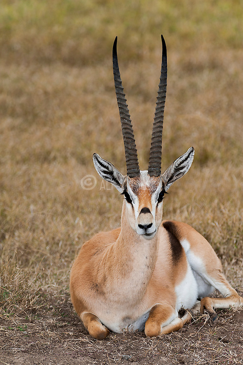 Grant's gazelles (Nanger granti) from Sweetwaters, Kenya.
