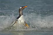 Beim Erreichen der Küste muß der Eselspinguin (Pygoscelis papua) so schnell wie möglich von der waagerechten Schwimmposition in die aufrechte Körperhaltung wechseln. In dieser Phase ist er besonders gefährdet, von Seelöwen erbeutet zu werden. | Reaching the beach the Gentoo Penguin (Pygoscelis papua) has to switch from the horizontal swimming position to the upright walking positure as fast as possible. This is a dangerous moment as sea lions lurk in the surf line.