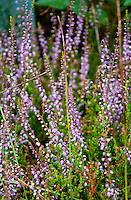 Close-up of lilac colored heather near a forest.