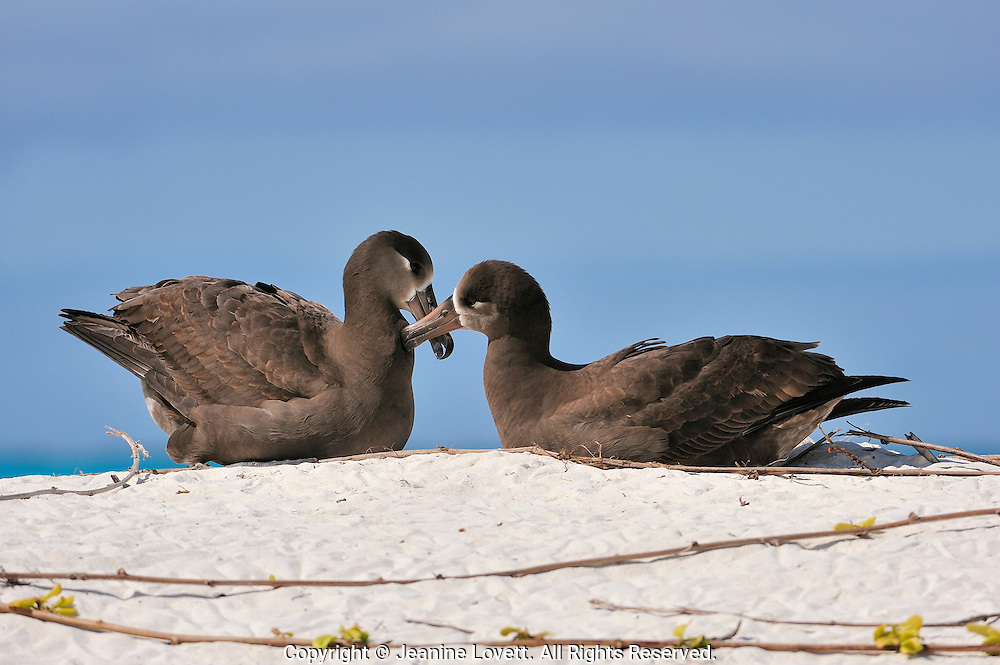 Female and male black footed  albatross sitting on the sand preening and bombing with each other.