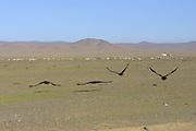 GOBI DESERT, MONGOLIA..09/03/2001.Vultures near Bayanhongor..(Photo by Heimo Aga).