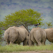 White Rhinoceros<br /> Square-lipped Rhino<br /> Ceratotherium simum<br /> Hluhulwe Game Reserve<br /> South Africa