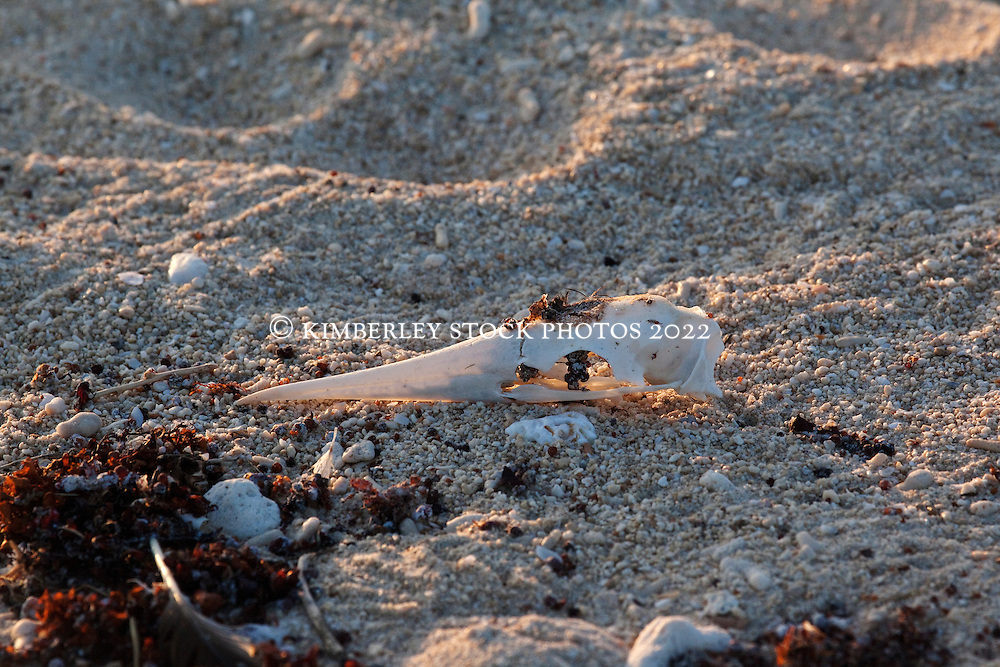 A small bird skull lies on the sand on the Lacepede Islands, on the Kimberley coast.  The Lacepedes are a major bird rookery and bird and turtle nesting site.
