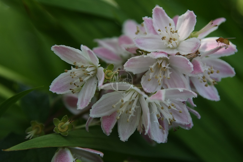 "Flowers at home, July 2012. Deutzia ""Magician""."