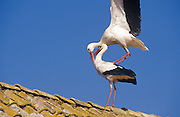 White Stork (Ciconia ciconia). Pair mating on top of a house rooftop. Andalucia, Spain.