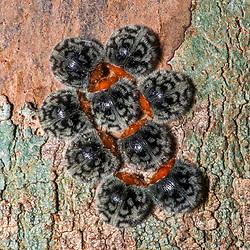 """""""Nilionidae sp. (Coleoptera) fotografado em Linhares, Espírito Santo -  Sudeste do Brasil. Bioma Mata Atlântica. Registro feito em 2014.<br /> <br /> <br /> <br /> ENGLISH: Ladybird Beetle photographed in Linhares, Espírito Santo - Southeast of Brazil. Atlantic Forest Biome. Picture made in 2014."""""""