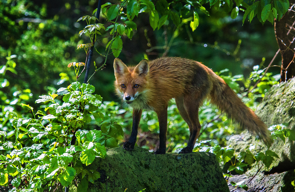 An adult female fox surveys the surrounding forest from atop a boulder.