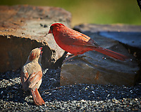 Northern Cardinal Pair. (Courtship Behavior???). Image taken with a Nikon D4 camera and 600 mm f/4 VR lens (ISO 200, 600 mm, f/4, 1/800 sec)