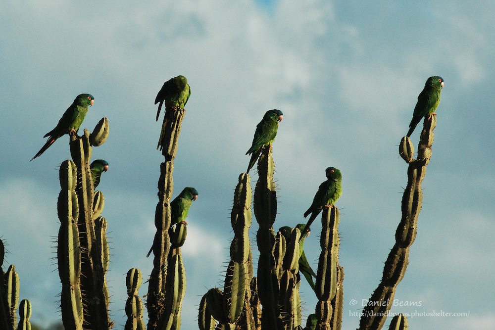 Parrots atop a cactus in Saipina, Santa Cruz, Bolivia