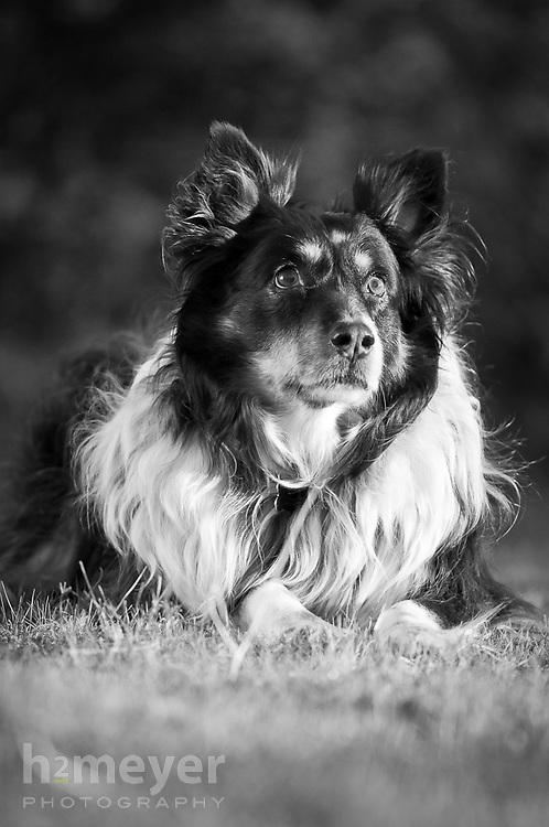 Austrailian Shepherd mix.  Owner - Jacque Johnson , Pet Portrait Photography