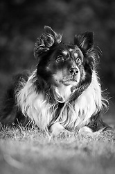 Austrailian Shepherd mix.  Owner - Jacque Johnson , Pet Portrait Photography