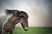 Icelandic horse in the volcanic ash from the erupting volcano in Grímsvötn May 2011, southern Iceland