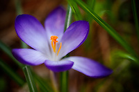 The first crocus of spring emerges for all to admire.