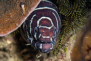 Zebra Moray (Gymnomuraena zebra)<br /> Raja Ampat<br /> West Papua<br /> Indonesia