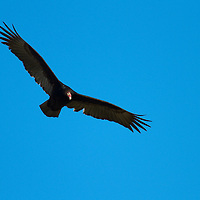 """The Turkey Vulture, Cathartes aura, is a bird found throughout most of the Americas. It also known in some North American regions as the Turkey Buzzard (or just """"buzzard"""")The Turkey Vulture is a scavenger and feeds almost exclusively on carrion.[9] It finds its meals using its keen vision and sense of smell, flying low enough to detect the gasses produced by the beginnings of the process of decay in dead animals.[9] In flight, it uses thermals to move through the air, flapping its wings infrequently"""