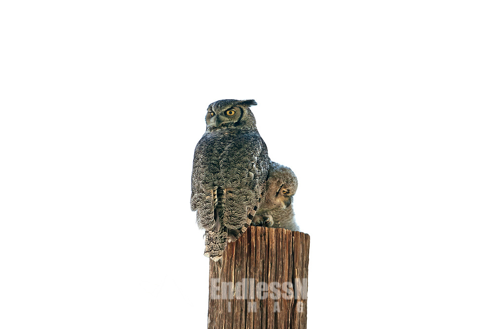Adult Great Horned Owl sits atop a post reassuring its young owlet after it climbed up that same post.